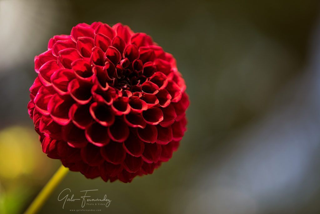 Close up of an Elegant Carmine (Dark-Red) Dahlia Pom Pom or Ball Dahlia on a garden. Gentle movements under the summer breeze during the Golden Hour - Web